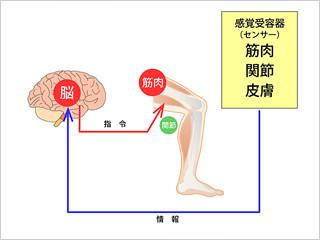 機能神経学的な筋力テスト